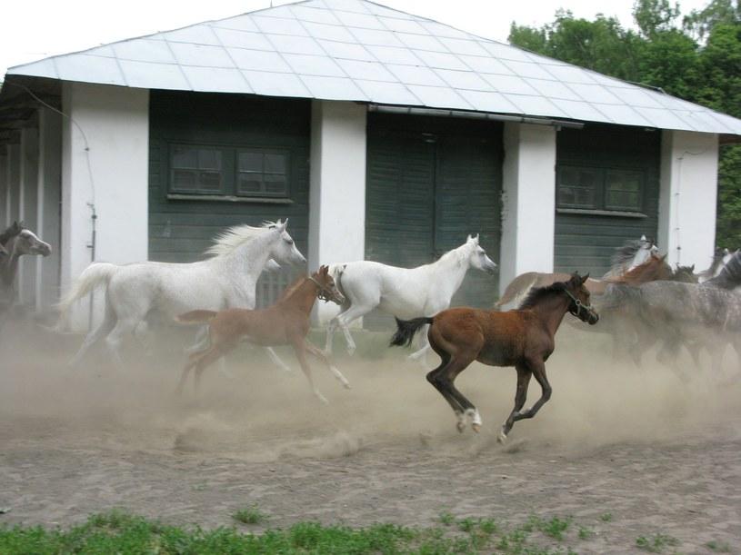 Konie ze stadniny w Janowie Podlaskim, 2011. Powrot z pastwiska, fot. Slawomir Kordaczuk /East News