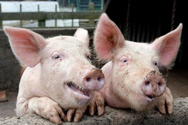 Koniec ze świniobiciem na własnym podwórku? /©123RF/PICSEL