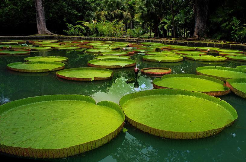 Koniecznie wybierz się do ogrodu botanicznego w Pamplemousses. Zobaczysz imponujące wiktorie królewskie, największe lilie wodne na świecie, które na potężnych liściach mogłyby utrzymać nawet małe dziecko! /123RF/PICSEL