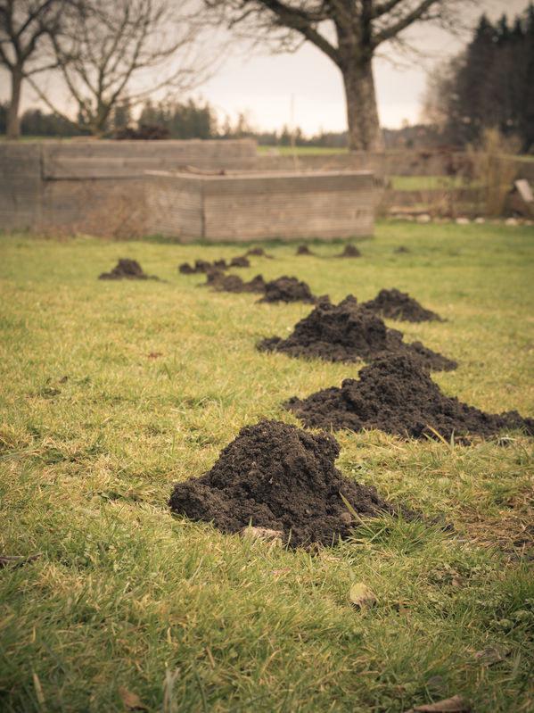 Kopce na trawniku /©123RF/PICSEL