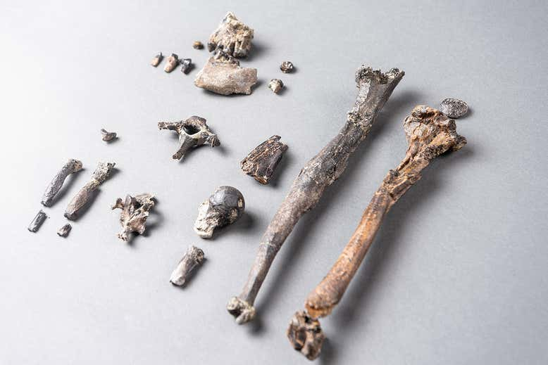 Kości Danuvius guggenmosi /Christoph Jäckle /Materiały prasowe