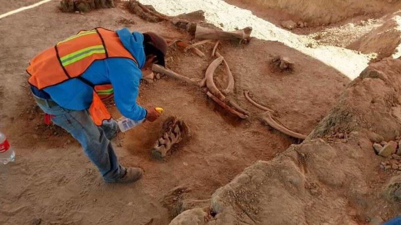 Kości mamutów odkryte podczas wykopalisk w Santa Lucia /materiały prasowe