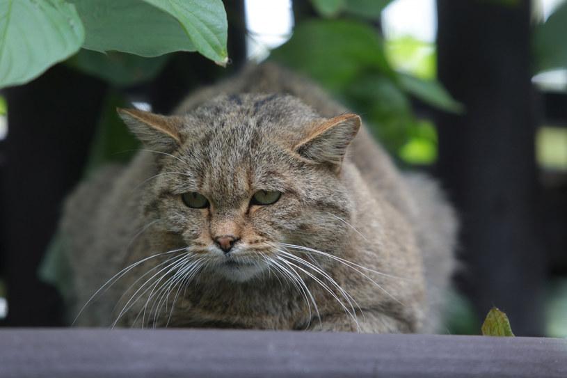 Kości żbików i kotów domowych są właściwie nie do odróżnienia /Piotr Mecik /East News