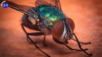 Koszmarna kuracja. Co to jest larwoterapia?