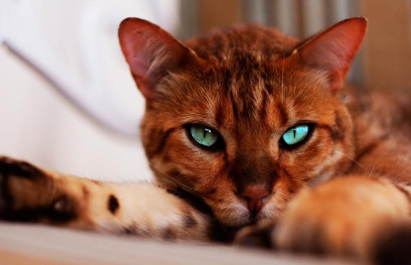 Są Piękne I Kosztują Fortunę Ceny Za Te Kociaki Robią Wrażenie