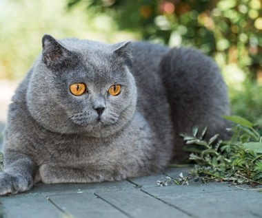 Kot brytyjski: co warto wiedzieć?