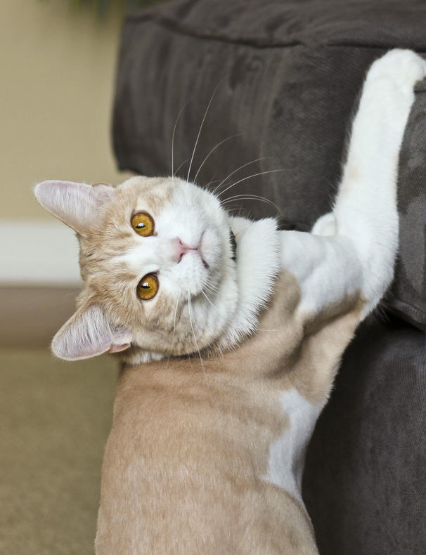 Kot drapie kanapę /©123RF/PICSEL