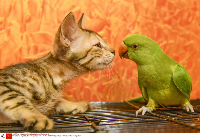 Kot i papuga - niezykły team /Shaukat Ahmed/Pacific Press/Shutterstock /East News