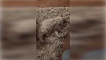 Kot kameleonem? Pupil do złudzenia przypomina… dywan