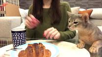 Kot kombinuje jak zdobyć kawałek croissanta dla siebie
