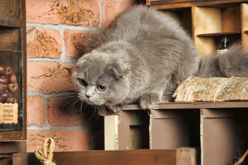 Kot lubi, gdy posiłek jest podany w taki sposób, by wymagał od wysiłku podobnego do tego, jaki wykonuje w naturze polując /123RF/PICSEL