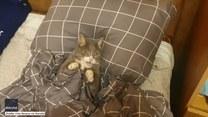 Kot niczym człowiek? Ten futrzak też nie chce wstać z łóżka