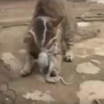 Kot próbuje zjeść żywą ośmiornicę! - wideo