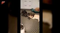 """Kot stał się """"ofiarą"""" szopów. Co mu zrobiły?"""