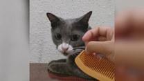 Kot wysuwa język, gdy słyszy dźwięk z grzebienia
