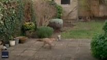 Kot z lisem bawią się w berka. Kto kogo złapie?