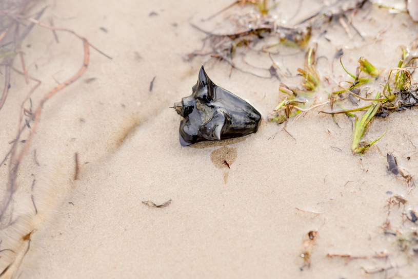 Kotewka orzech wodny znajduje się na czerwonej liście gatunków krytycznie zagrożonych wyginięciem /123RF/PICSEL