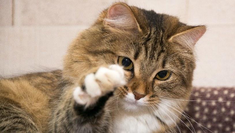 Koty bywają niesforne /©123RF/PICSEL