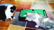 Koty grają w mini-bilard. Idzie im nieźle