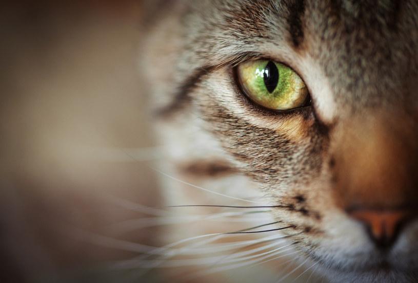 Koty mogą chorować na COVID-19 /123RF/PICSEL