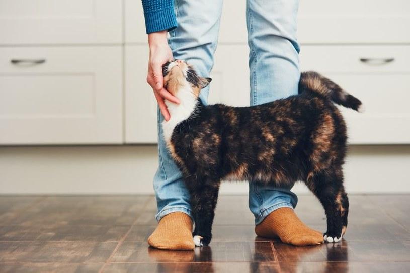 Koty okazują czułość np. ocieraniem się o człowieka /123RF/PICSEL