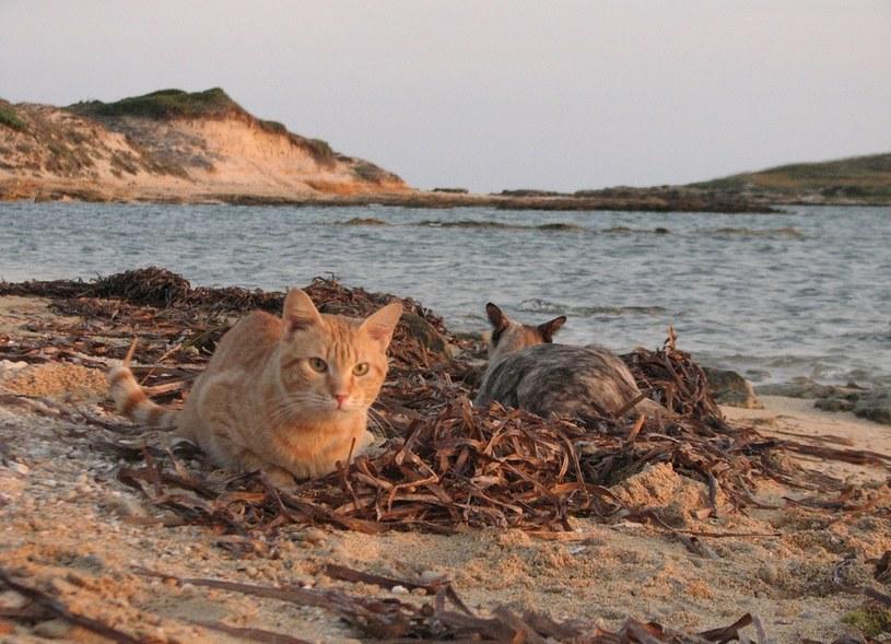 Koty-plażowicze, fot. http://gattisupallosu.blogspot.com/ /