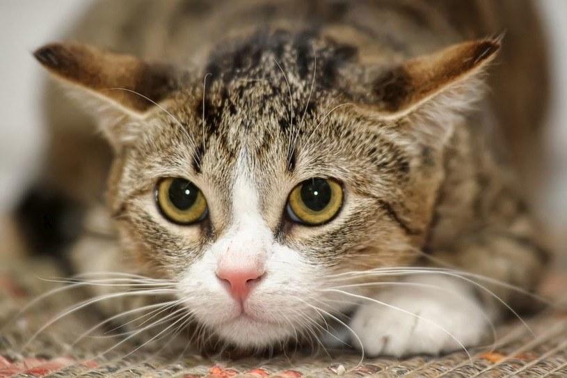 Koty również są zdolne do bohaterskich czynów /123RF/PICSEL