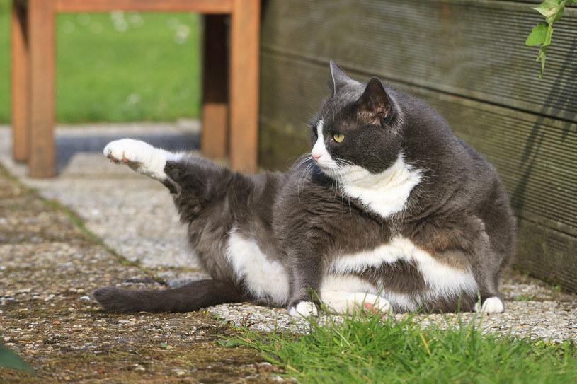 """Koty """"tolerują"""" krótkie i """"dźwięczne"""" zawołania /123RF/PICSEL"""