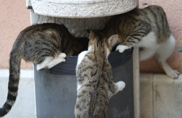 Koty w akcji... /Ivo Cagalj/PIXSELL /PAP