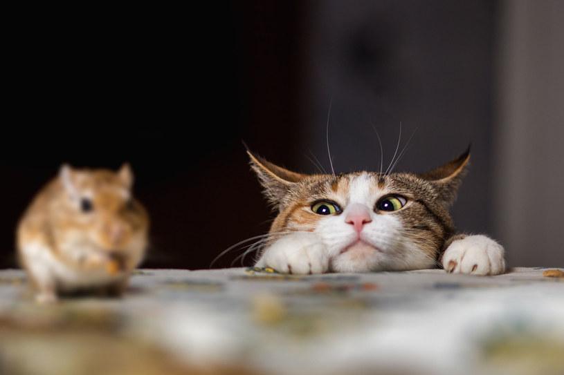 Koty żyjące 6 tys. lat temu polowały na gryzonie w pobliżu ludzi, ale nie były udomowione /123RF/PICSEL