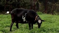 Koza Milka zjadła fryzjerkom kwiaty. Wracała z punktu Lotto (Polsat)
