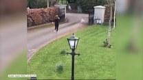 Koza szarżowała na biegaczkę. Dramatyczna ucieczka