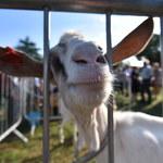 Koza zjadła 20 tysięcy euro w gotówce. Skończyła na rożnie