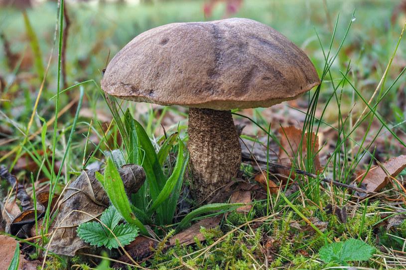 Kozaki to grzyby, które mają rzeszę swoich ulubieńców /123RF/PICSEL