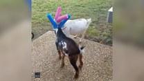 Kozy dostały… ochraniacze na rogi