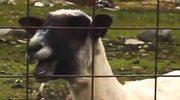 Kozy opanowują świat! Internetowe szaleństwo...
