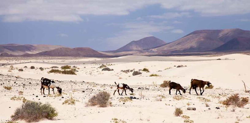 Kozy są nieodłącznym elementem krajobrazu /123RF/PICSEL