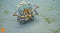 Krab robiący fikołki. O co chodzi?