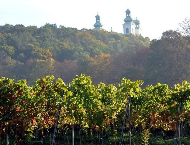Krakowska Winnica Srebrna Góra, położona u stóp klasztoru kamedułów na Bielanach. Fot. Marek Lasyk /Reporter