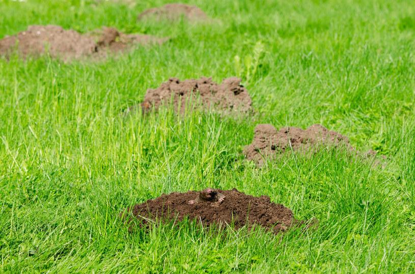 Kret w ogrodzie /©123RF/PICSEL