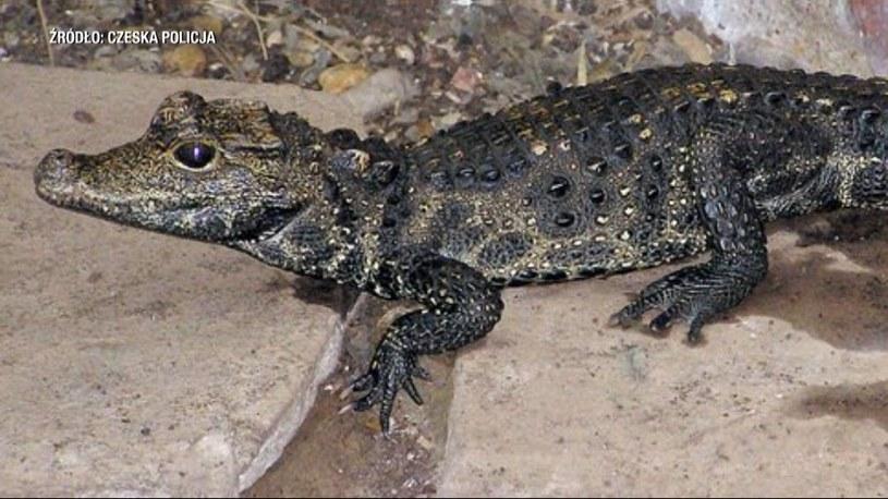 Krokodyl Mireczek, źródło: Czeska Policja /Policja