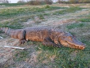 Krokodyl wyłowiony z Warty, fot. Policja //Policja