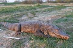 Krokodyl wyłowiony z Warty