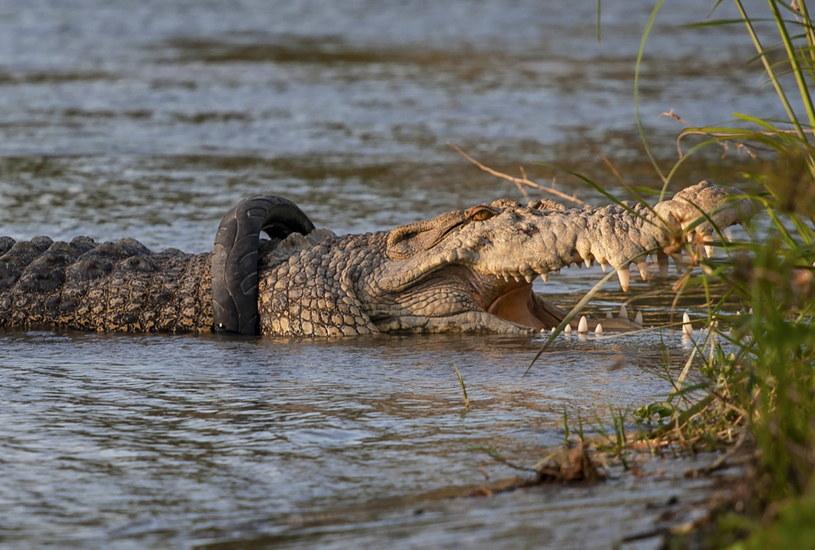 Krokodyl z oponą wokół karku /OPAN BUSTAN  /PAP/EPA