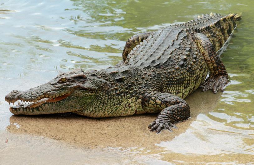 """Krokodyl znad Jeziora Kunickiego, nazywanego również """"polskimi Hawajami"""", wywołał poruszenie wśród okolicznych mieszkańców. Czy był prawdziwy? /123RF/PICSEL"""