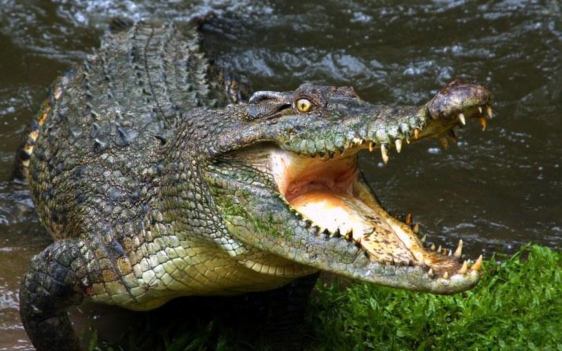krokodyl /© Photogenica