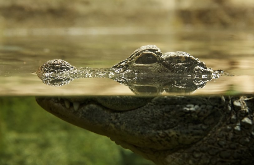 Krokodyle nie zmieniły się na drodze ewolucji /123RF/PICSEL