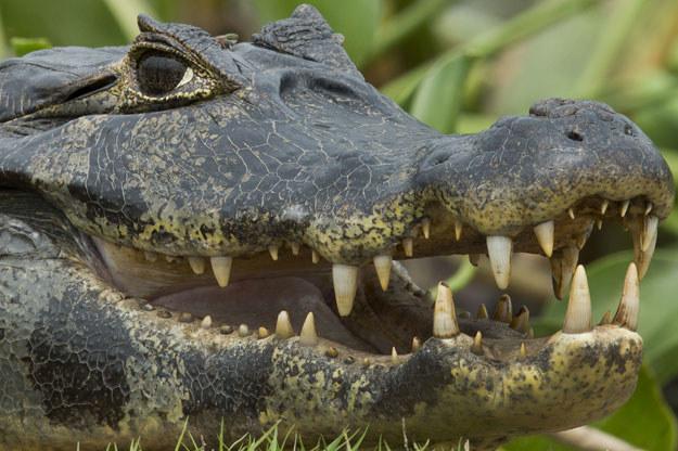 Krokodyle są wykorzystywania przez mafię do zastraszania fot. Nelson Almeida /AFP