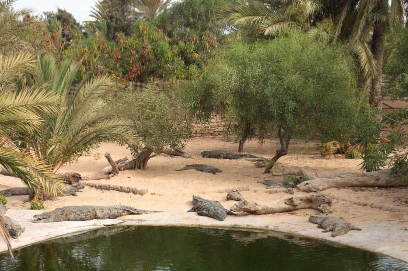 Krokodyle w Djerrba Explore Park /123RF/PICSEL