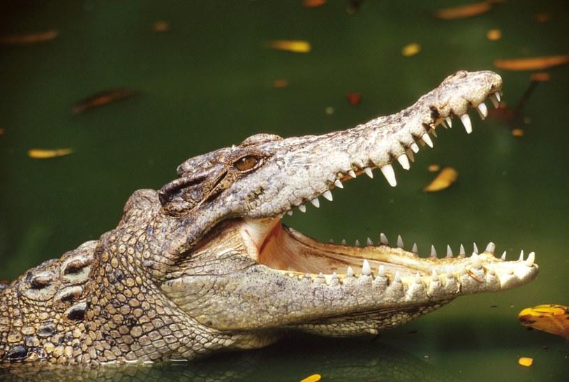 Krokodyle zaatakowały nadmuchiwaną łódź, którą płynęli turyści /© Glowimages